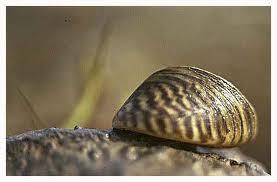 scoica Dreissenia polymorpha, hrana de baza a crapului de Dunare