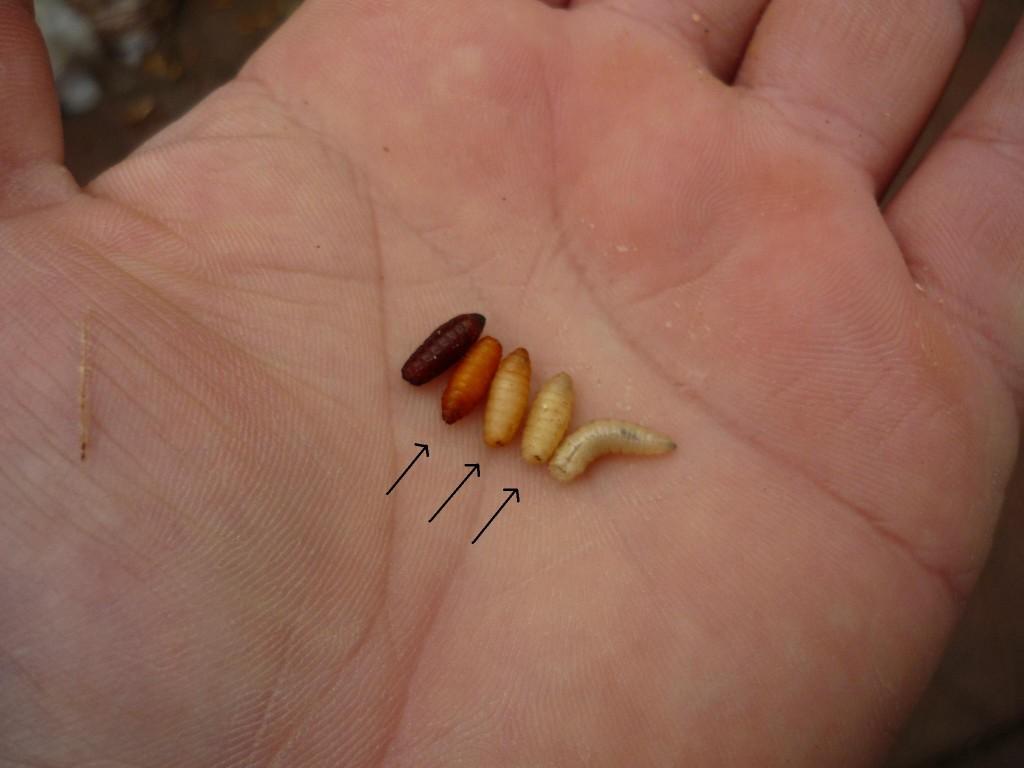Cele 3 stadii (indicate prin sageata)  cand este indicat sa recoltam casterii in vederea folosirii lor in nada de substrat