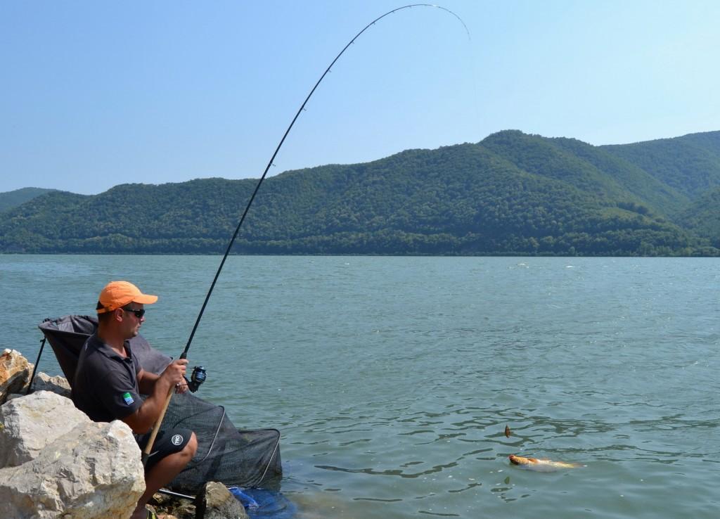 Un crap salbatic de Dunare atras de valoarea nutritiva a peletelor