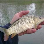 lanseta pescuit la feeder bega